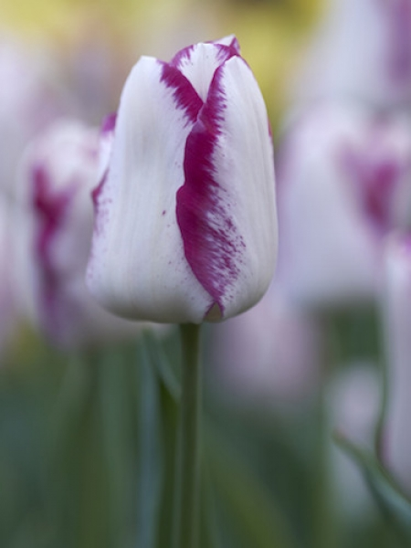 Tulip 'Affaire'