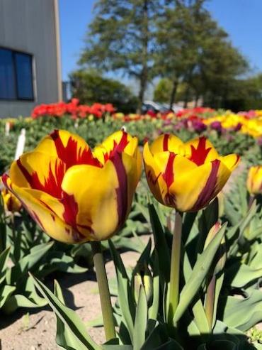 Tulip 'Helmar' (Pack of 15 Bulbs)