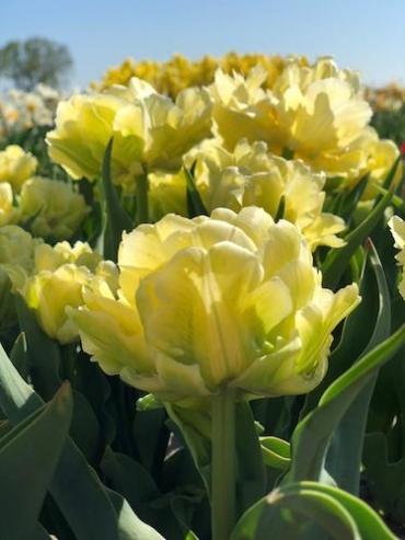 Tulip 'Verona' (Pack of 10 Bulbs)