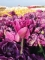 Tulip 'Negrita Double' (Pack of 15 Bulbs)