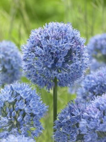 Allium Caeruleum (Pack of 20 Bulbs)