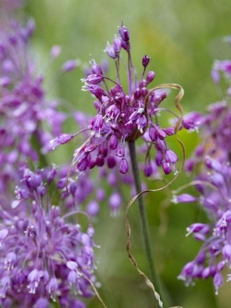 Allium Carinatum
