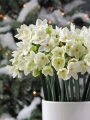 Paperwhites planted indoors for Christmas