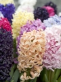 Hyacinths with Gipsy Queen