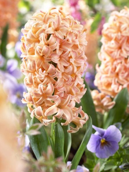 Hyacinth Gipsy Queen