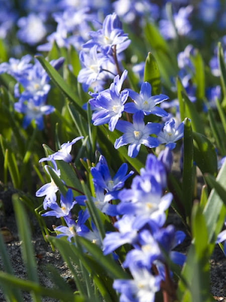 Chinodoxa Luciliae (Pack of 50 Bulbs)