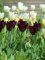 Havran Tulips