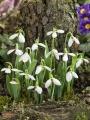 Galanthus Elwesii