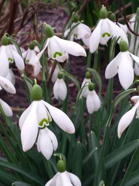 Galanthus 'Straffon' (Pack of 5)