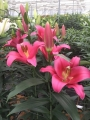 Lily 'Pure Passion'