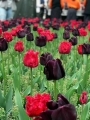 The Hearts and Clubs Tulip Collection (Pack of 20 Bulbs)