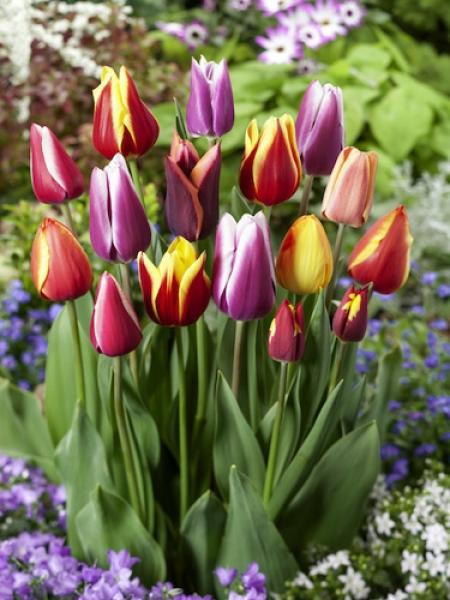 100 x Mixed Tulips