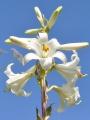 5x Lilium Candidum (Madonna Lily) | Large Bulbs | Perennial | Scented