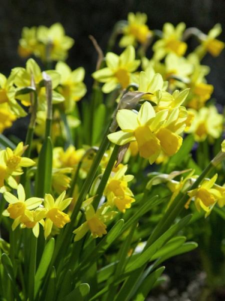 Miniature Narcissus 'Tete-a-Tete'