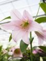Lily 'Magnifique'