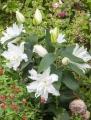 White Tornado Lily