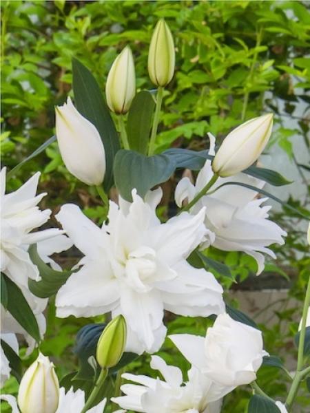 Lily 'White Tornado'