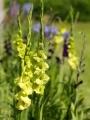 Gladiolus 'Green Star' (Pack of 15)