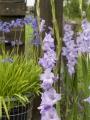 Gladioli Sweet Blue