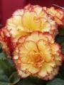 Orange Picotee Begonia