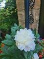 White Peonia