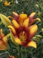 Sweet Valley Longiflorum Asiatic Lily