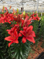 Redhill Lily