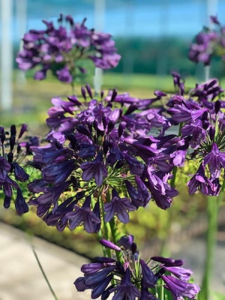 Agapanthus 'Poppin' Purple'