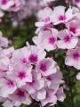 Phlox Paniculata 'Bright Eyes'