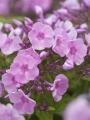 Phlox Paniculata 'Junior Abundance'