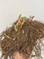 Phlox Rare Root Perennial
