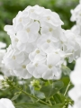 Phlox Paniculata 'Rembrandt'