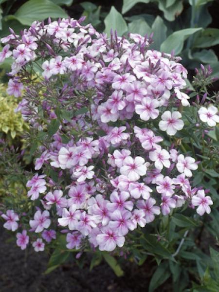 Phlox Paniculata 'Rijnstroom'