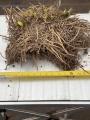 XXXL Agapanthus Root