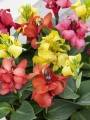 Mixed Cannas (Pack of 5)