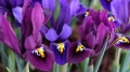 Iris Blue Hill and Purple Hill