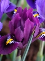 Iris Reticulata 'Purple Hill'