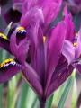 Iris Purple Hill