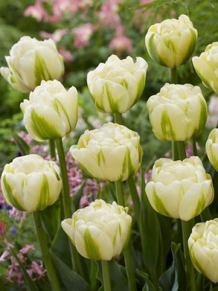 Tulip 'Yukon'