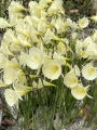 Narcissus Bulbocodium Arctic Bells