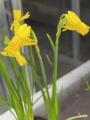 Miniature Narcissus 'Little Emma'