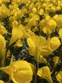 Narcissus Oxford Gold®