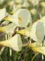 Narcissus Spoirot