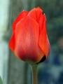 Tulip Vvedenskyi 'Bernadette'