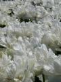 Grobina tulips