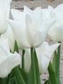 Tulip 'Kiwanis'