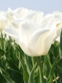 Kiwanis tulips