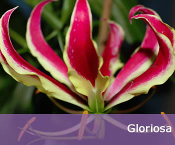 Buy Gloriosa Bulbs