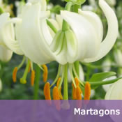 Buy Martagon Lily Bulbs