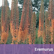 Buy Eremurus Bulbs